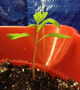 Tomato plant 30 days after planting the seed