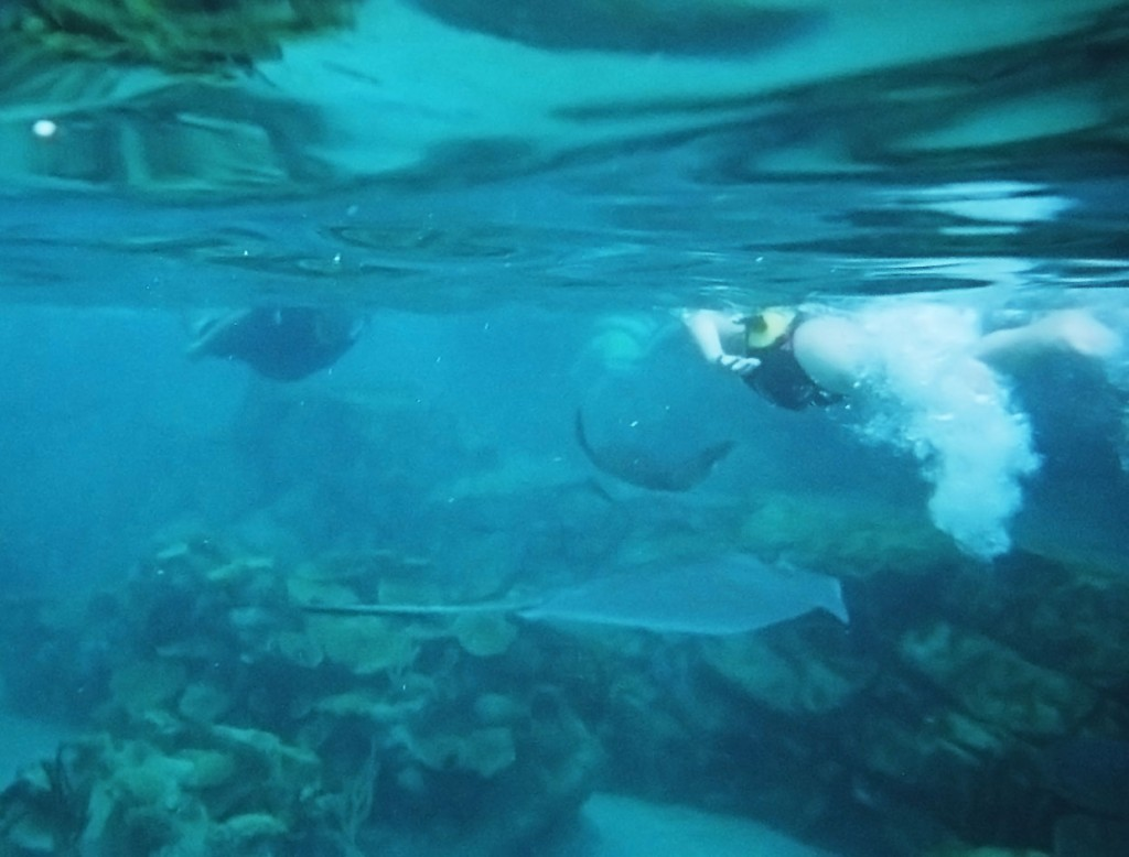 A spotted eagle ray and a southern ray swimming under Miranda