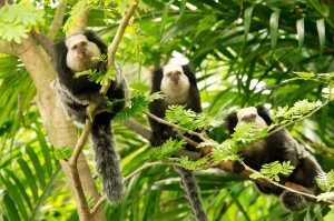 Stock photo - Marmosets
